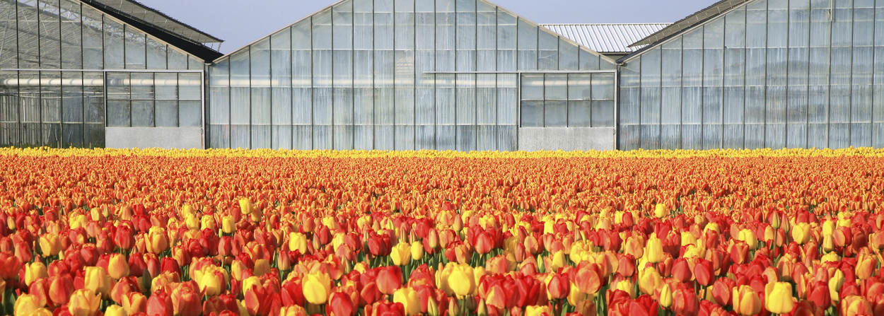 Field with tulips and Green houses
